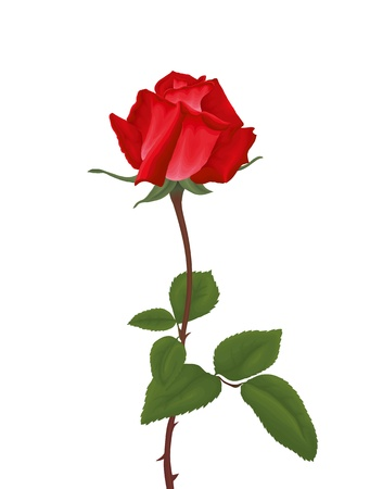 Red rose with leafs isolated on white background. Vector Illustration