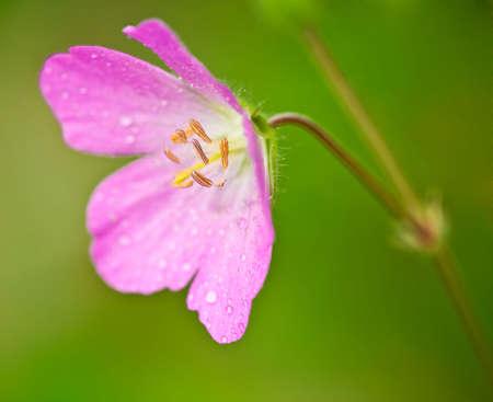 heralds: Pink wild geranium, Geranium maculatum, close-up with focus on the stamens, heralds the coming of Spring.
