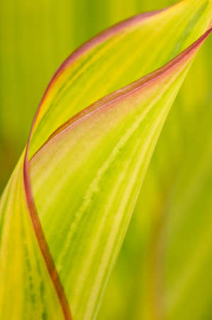 unfurling: The gentle curves of an unfurling emerging leaf. Stock Photo