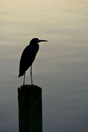 A silhouette of a Little Blue Heron on a wooden piling seen in fading warm evening light with space for text above the bird. Stock Photo - 3851869