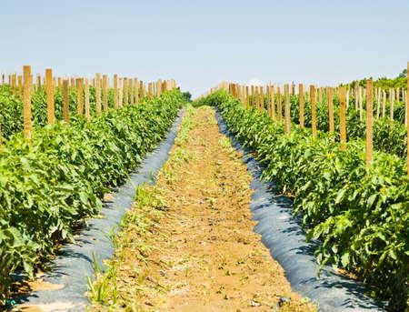 M�ltiples hileras de plantas de tomate que crecen en una granja. Foto de archivo - 3871197