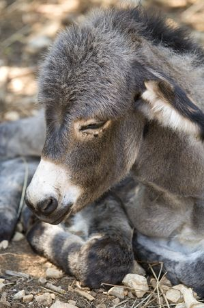 Little donkey in a field with stones photo