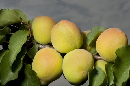 matures: Tree of apricot, detail of the brach with matures apricots
