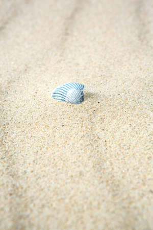 Old dried white calcified bivalve seashell half buried in beach pristine white sand with tidal ripples and copy space