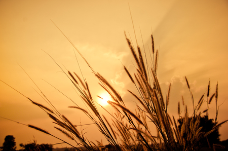 beautiful poaceae ,grasses in the meadow during the sunset. Stock Photo
