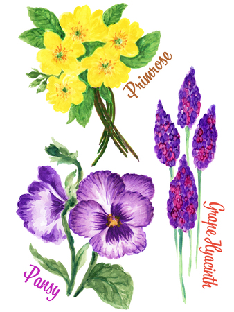Watercolour Gouache hand drawn spring and summer primula Pansy and Grape Hyacinth Flower illustration for greeting card postcard