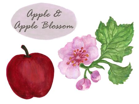 Watercolor Set apple and apple blossom Hand Painted Isolated for card menu restaurant backdrop