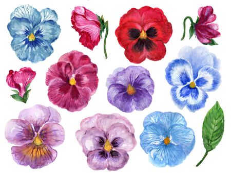 Hand painted floral pansy botanical blossom and leaves colorful sweet element set on white background 版權商用圖片