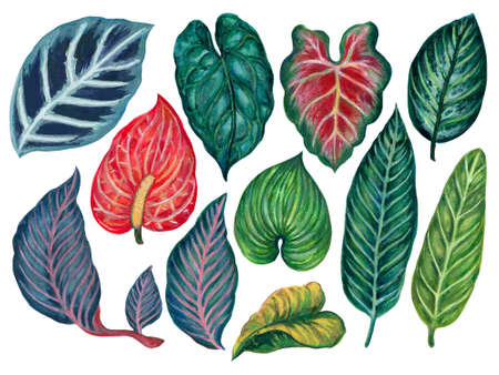 Hand painting watercolor illustrationinspired by anthurium and caladium and peace lily plants element on white