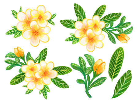 Hand painting watercolor illustration plumeria frangipani flower foliage leaf and bouquet elements on white background
