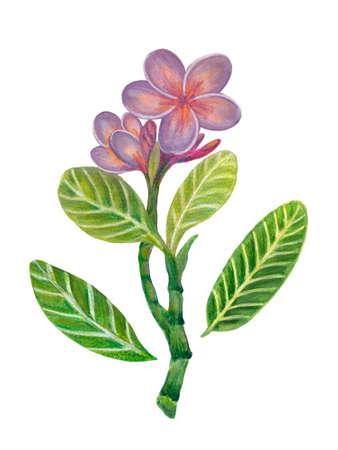 Hand painting watercolor illustration plumeria frangipani flower foliage leaf element on white background