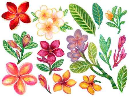 Hand painting watercolor illustration colorful  plumeria frangipani flower foliage leaf and bouquet elements on white background