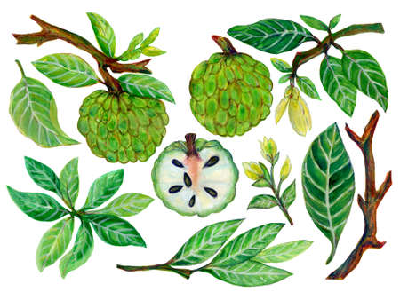 Watercolor gouache Jacobean custard apple fruits leaves floral elements for wallpaper, fabric, wrapping, card hand paint