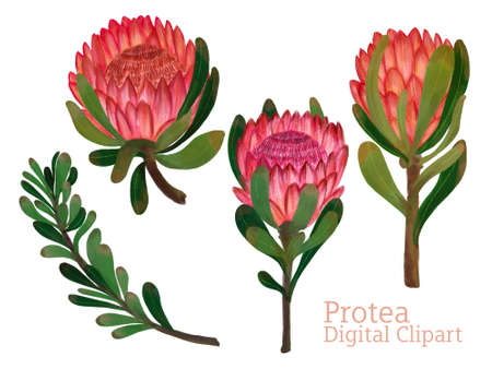 Protea flower foliage leaf botanical blooming digital drawing painting elements isolated on white background
