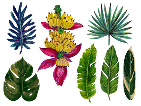 Botanical watercolor gouache illustration tropical houseplant rainforest leaves folaige banana ripe palm and monstera element isolated on white