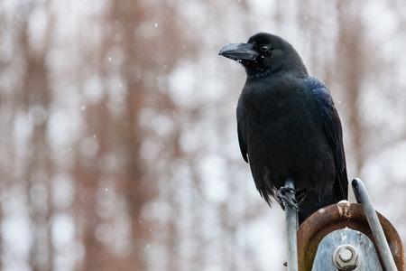 corvus: Corvus Foto de archivo