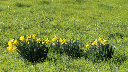 sprung: Spring has Sprung and Daffodils are Flowering in late February in a Meadow in the Fraser Valley of British Columbia Stock Photo