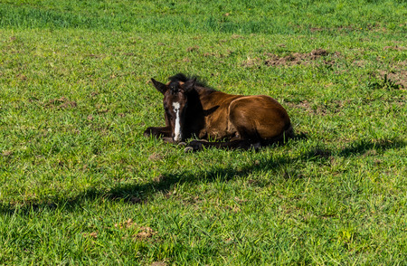 filly: Filly laying down in a Meadow near Fort Langley British Columbia