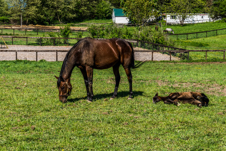 filly: Mare Grazing and Filly laying down in a Meadow near Fort Langley British Columbia