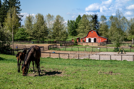 filly: Mare and Filly Grazing in a Meadow near Fort Langley British Columbia with their red barn in the background