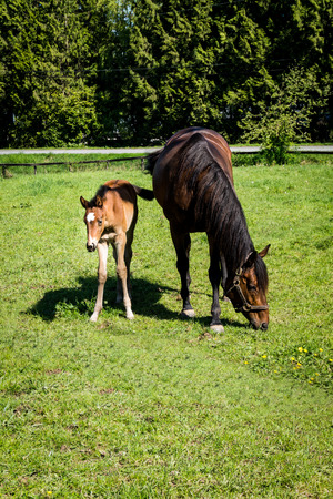 filly: Mare and Filly Grazing in a Meadow near Fort Langley British Columbia Stock Photo