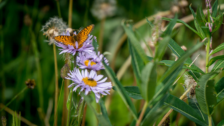 bordered: Pearl Bordered Fritillary on Aster Flowers in the High Alpine of Tod Mountain