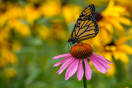 Monarch Butterfly on a Echinacea Purple Cone Flower with Yellow Rudbeckia Goldsturm Flowers in the Back Ground