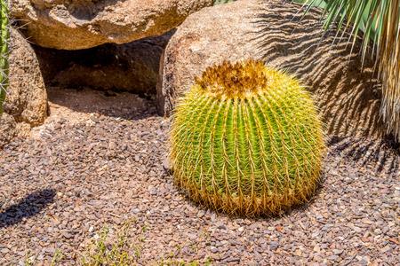 scorching: Echinocactus grusonii aka Golden Barrel Cactus in the Arizona Desert