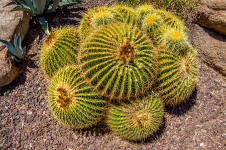 cactus: Echinocactus grusonii aka Golden Barrel Cactus in the Arizona Desert