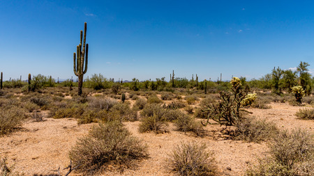 cholla: Saguaro and Cholla Cacti in the Arizona Desert on a hot summer day