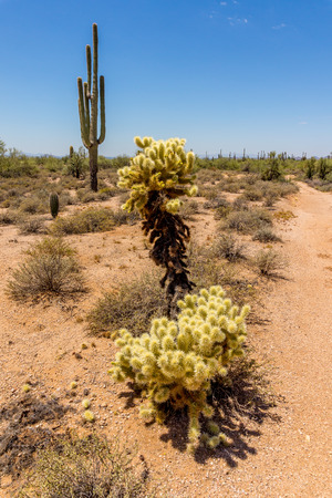 scorching: Saguaro and Cholla Cacti in the Arizona Desert on a hot summer day