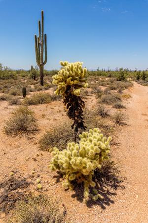 phoenix: Saguaro y Cholla Cactus en el desierto de Arizona en un día caluroso de verano