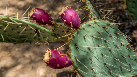 barbary: Opuntia ficus-indica aka Barbary Fig cactus bearing fruit in the Arizona desert Stock Photo