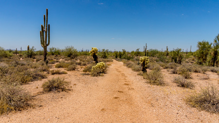 cholla cactus: Saguaro and Cholla Cacti in the sandy Arizona Desert on a hot summer day