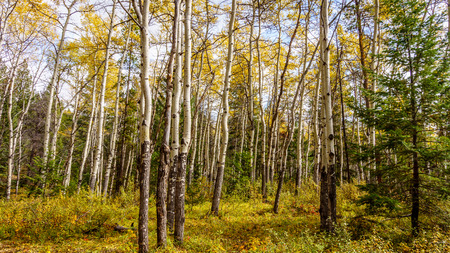 white birch tree: White Birch Tree Forest on a nice fall day in Jasper National Park, Canada Stock Photo
