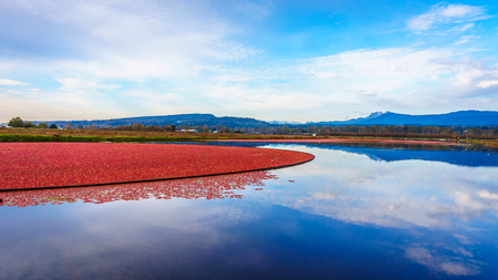 mountain cranberry: Cranberry harvesting in Glen Valley in the Fraser Valley of British Columbia Stock Photo
