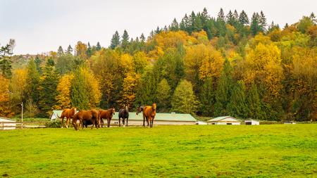 glenn: Horses in a meadow in Glen Valley in the fall in Glenn Valley in the Fraser Valley of British Columbia