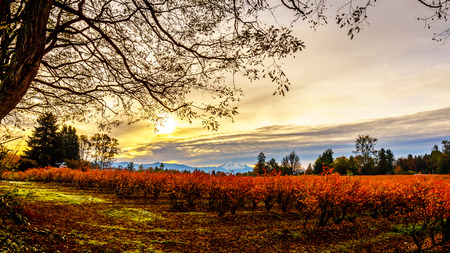 mount baker: Sunrise over Mount Baker and blueberry fields in the fall in the Fraser Valley of British Columbia, Canada