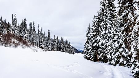 covered fields: Snow covered Fields and Trees in the Shuswap Highlands in central British Columbia, Canada
