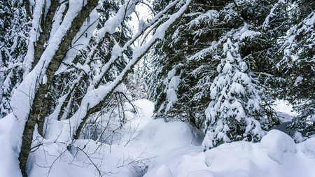 heap of snow: Snow covered trees in the forest in the Shuswap Highlands of central British Columbia, Canada