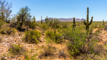scorching: Arizona Desert with Saguaro Cacti and shrubs under Blue Sky on a summer day Stock Photo