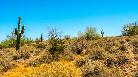 desert ecosystem: Dry desert landscape with Saguaro Cacti in Tonto National Forest in Arizona, USA Stock Photo
