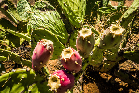 Prickly Pear Cactus bearing Fruit in Tonto National Forest in Arizona, USA