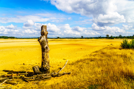 Dead Tree Stump at Beekhuizerzand on the Veluwe in the Netherlands in the province of Gelderland is the largest sanddrift area in Europe