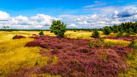 Purple Calluna Heathers alongside the desert of Beekhuizerzand on the Veluwe in the Netherlands in the province of Gelderland is the largest sanddrift area in Europe Stockfoto