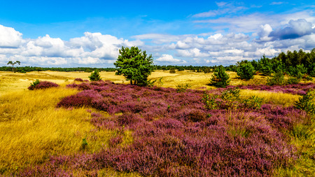 Purple Calluna Heathers alongside the desert of Beekhuizerzand on the Veluwe in the Netherlands in the province of Gelderland is the largest sanddrift area in Europe Фото со стока