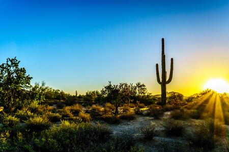 saguaro cactus: Sunrise with Sun Rays shining through the Shrubs in the Arizona Desert with a Saguaro Cactus in the Foreground