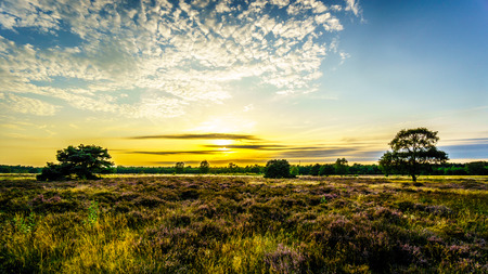 expanse: Sunrise over the Ermelose Heide with Calluna Heathers in full bloom on the Veluwe in the Netherlands