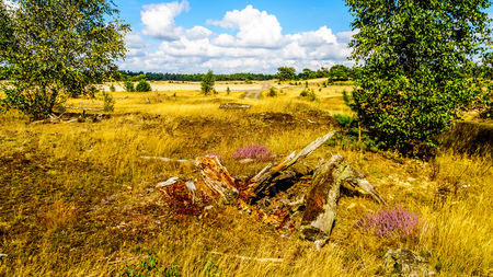 Purple Calluna Heathers and Dead Wood alongside the desert of Beekhuizerzand on the Veluwe in the Netherlands in the province of Gelderland is the largest sanddrift area in Europe