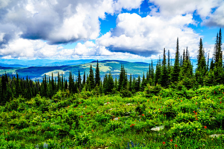 Wildflowers in high alpine meadows of Tod Mountain in the Shuswap Highlands of central British Columbia, Canada